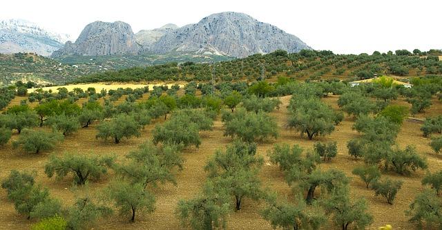 Olive trees of Axarquia